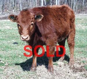 steer calf